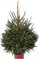 Pot Grown Noway Spruce9